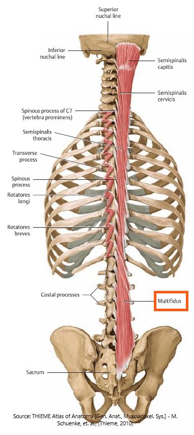 posture-stabiliziers-back-multifidus