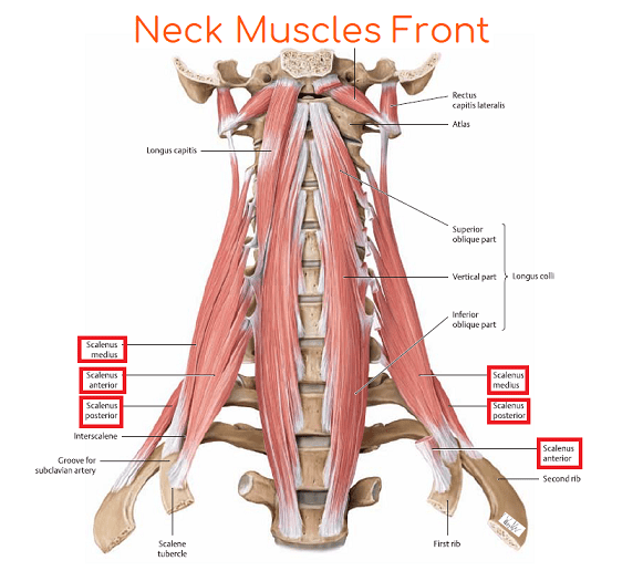 neck-muscles-front