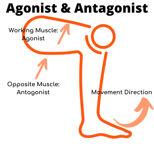 infographic-agonist-and-antagonist-during-movement